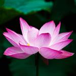 image lotus